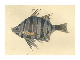 Bastard dory (Enoplosus armatus) - Pictures and facts