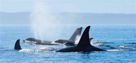 Seattle Whale Watching to San Juan Island & Victoria BC