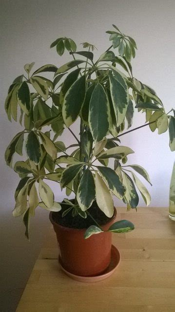 diagnosis - Why are some leaves on my Schefflera turning
