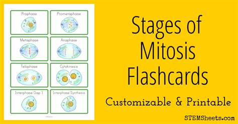 Stages of Mitosis Flashcards   STEM Sheets